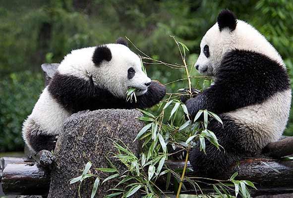 OSOS Panda..... 676229