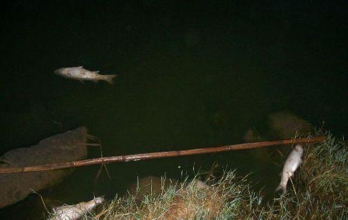 Peces muertos en la desembocadura del río Guadalhorce, en Málaga.