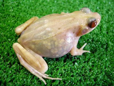 La rana transparente