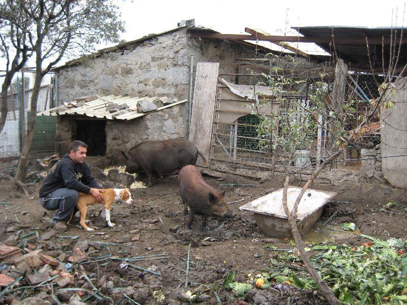 José Luis con sus cerdos y sus perros.