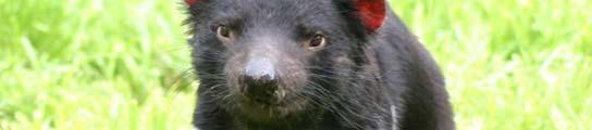 Cría de demonio de Tasmania
