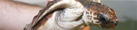 Tortuga Boba