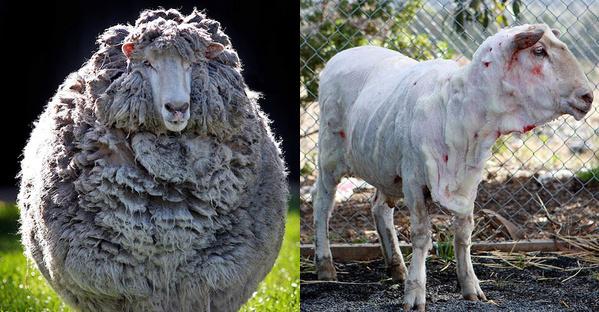 La oveja Victa