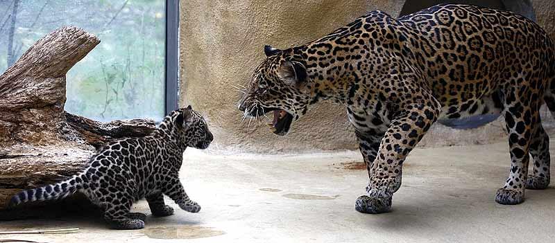 261007 Jaguar madre e hijo. Regañado. La jaguar Sally le llama la atención a su cachorro en el zoológico de Múnich.