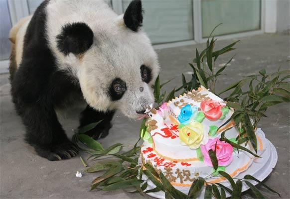 El oso panda más viejo del mundo cumple 35 años, el equivalente a ...