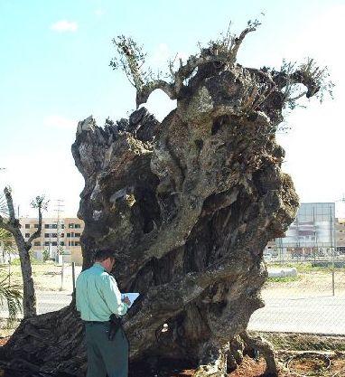 Intervienen en un vivero de murcia dos olivos milenarios for Viveros en murcia
