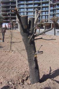 árbol transplantado