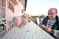 La paloma que murió en acto de servicio