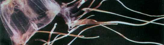 "Medusa ""avispa de mar"""