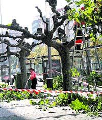 Poda de árboles en Gijón