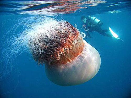 imagenes de medusas gigantes