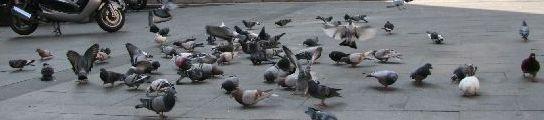 Un grupo de palomas en plena calle