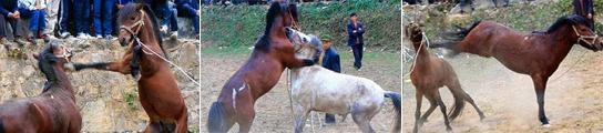 China disfruta con las peleas de caballos