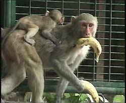 Un macaco como los que participaron en el estudio.