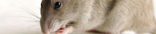 Ratones y ratas en el Hospital