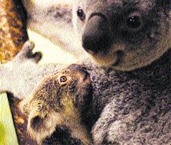 La primera bebé koala de Madrid ya se puede visitar en el zoológico