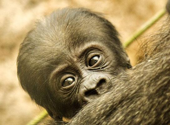 Gorila nacido en el Zoo de Madrid