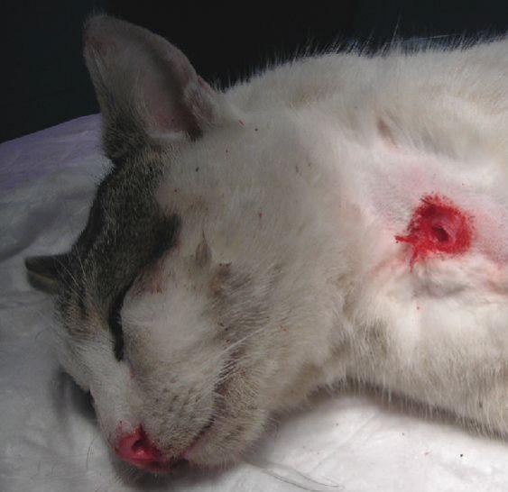 Resultado de imagen de gato muerto aplastado