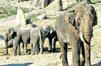 La elefanta fea ya tiene un novio