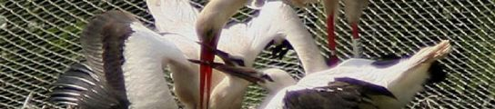 Cigüeñas en Urdaibai