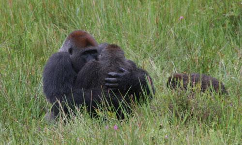 lo último 4624d 1ea13 Descubren a unos gorilas copulando en la posición del misionero