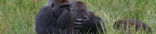 Los gorilas también practican el misionero