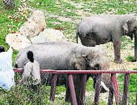 Un sacerdote casa a 'Pepita', la elefanta fea