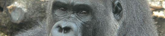 Otra oportunidad para el gorila