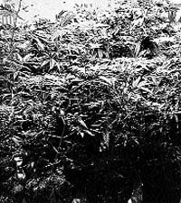 Detenido por convertir su casa en una plantación  de cultivo de marihuana
