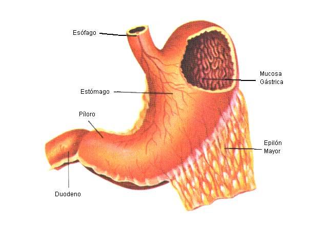 Descubren por qué crece el estómago