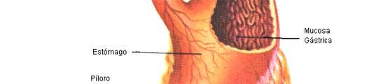 Las diferentes partes del estómago. (JUNTA DE ANDALUCÍA)