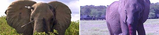 Dos elefantes heridos con lanzas (FOTO: http://richardleakey.wildlifedirect.org/)