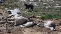 Varias ovejas yacen junto a restos orgánicos.