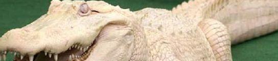 'Whitey', el cocodrilo blanco