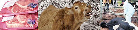El mal de las vacas locas