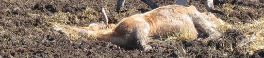 Vaca moribunda