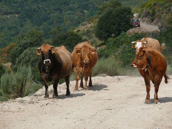 Vacas campando en el monte