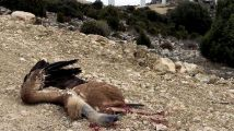 Buitres muertos