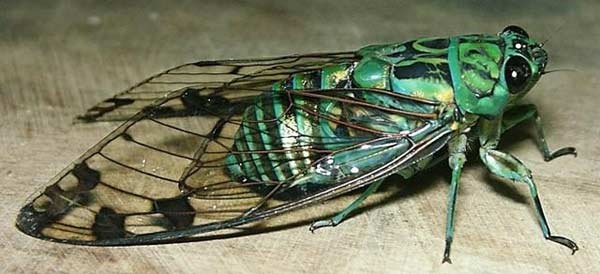 Insecto tropical