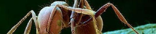 La amenaza de la hormiga roja