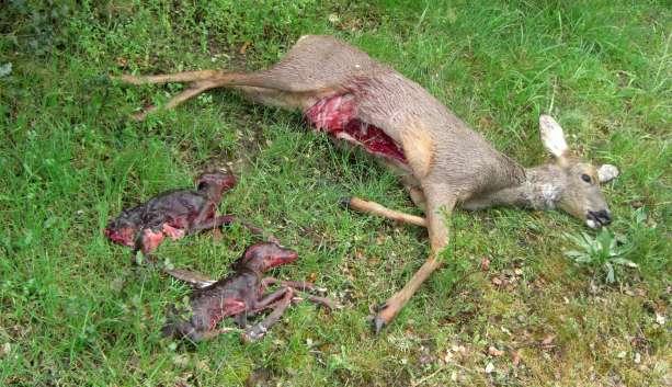 Corza abatida por un cazador furtivo