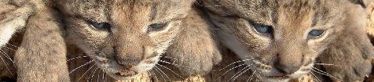 Cáceres contará con el tercer centro de cría en cautividad de lince ibérico