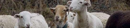 La especie ovina es la afectada