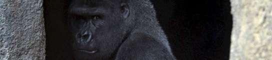 Gorilas en el Bioparc