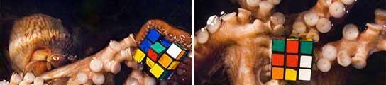 Pulpos con el cubo de Rubik