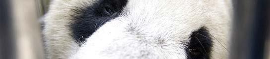 Un panda rescatado del terremoto