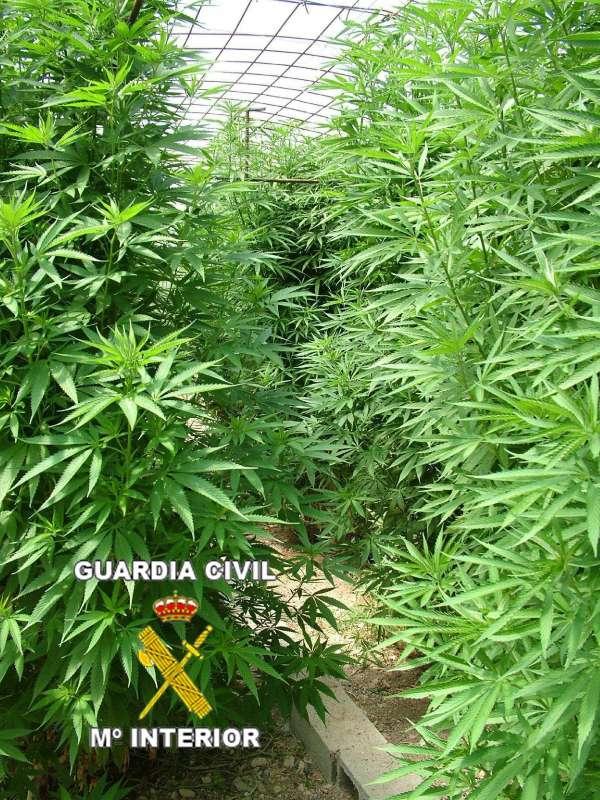 Encuentran una de las mayores plantaciones de marihuana en la rioja - Plantaciones de marihuana interior ...