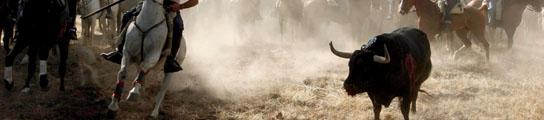'Valentón', el Toro de la Vega, muere de una lanzada tras once minutos de acoso