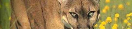 """Llaman a la Policía por un """"gato grande"""" y cuando llegan se encuentran con una leona"""