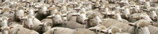 Roban 30 ovejas y dejan un vídeo al pastor con prácticas de zoofilia con una de ellas  (Imagen: ARCHIVO)